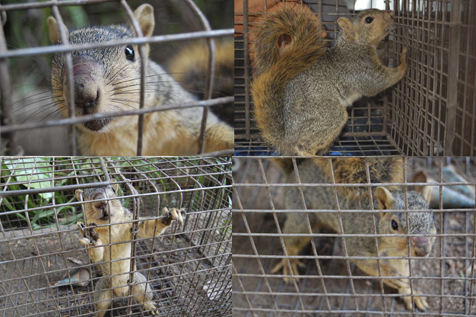 Squirrel Removal, Squirrel Control and Trapping Squirrels in Los Angeles