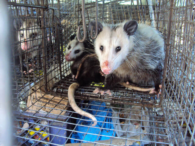 Opossum trapping and removal in Orange County