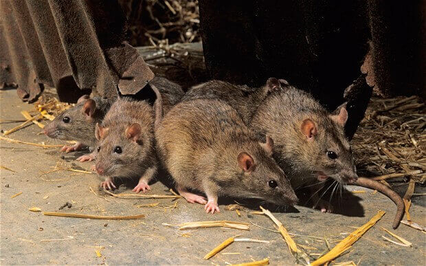 Rat trapping and removal in Riverside CA