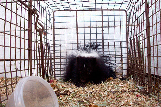 Skunk trapping Los Angeles